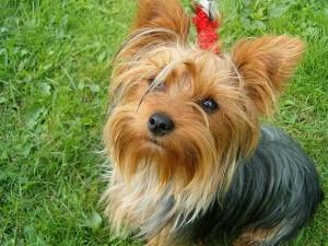 yorkshire terrier 5