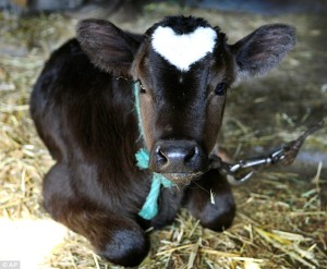 cow-with-heart-shape-on-forehead