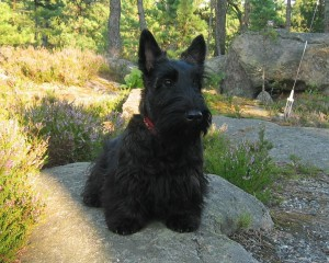 lovely-scottish-terrier-wallpaper