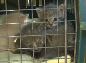 kittens-trapped-by-vokra-volunteer-in-surrey-aug-2014
